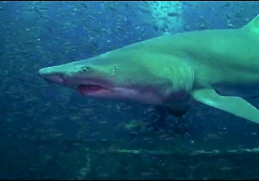 north carolina wreck shark
