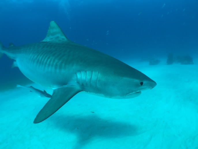 Tiger Shark Pic shot on Iphone6