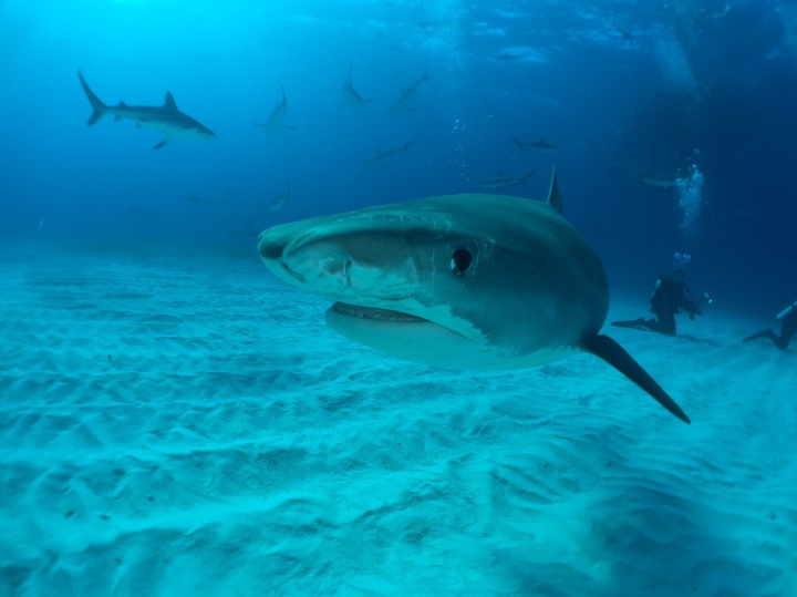 Hollywood Divers Shark Trips