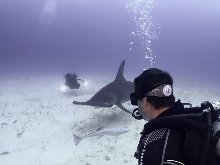 Female Great Hammerhead Shark