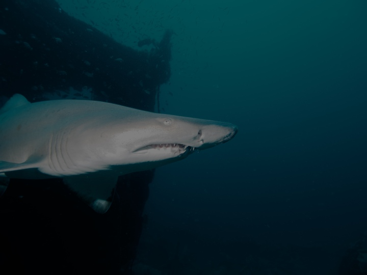 Hollywood Divers Shark Diving Trips