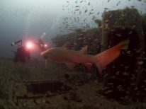 Francesco and Yuri Faceoff with a Sand Tiger