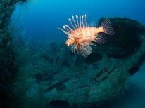 Invasive Lionfish Inhabit most of the Wrecks Offshore