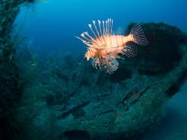 Invasive Lionfish Inhabit most of the Wrecks Offshore